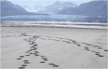 Bear Tracks: Glacier Bay Bears