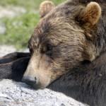 Bear-Resting USFWS Laubenstein,Karen