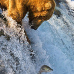 brown bear fishing Brooks Falls Alaska