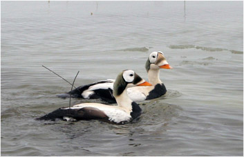 Spectacled Eiders Hideaway