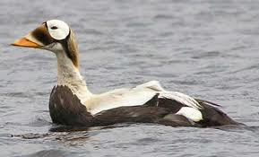 Spectacled Eiders Hideaway migration Arctic Alaska science