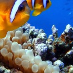 Clown fish at Sharm El Naga beach / Photographer Dino van Doorn (Creative Commons Attribution-Share Alike 3.0 Unported license)
