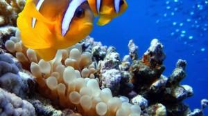 Clown fish at Sharm El Naga beach / Photographer Dino van Doorn (Creative Commons Attribution-Share Alike 3.0 Unported license)
