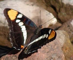 Adelpha eulalia Arizona sister butterfly