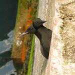 Guillemots_Nesting