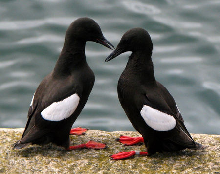Guillemots pair