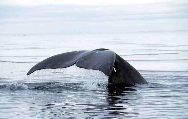 Bowhead Whale fluke