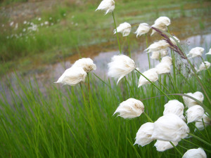 White Cottongrass BLM Seeds of Success Alaska