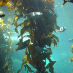Sea otters defend CO2 absorbing kelp forests