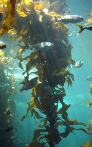 kelp strand fish aquarium
