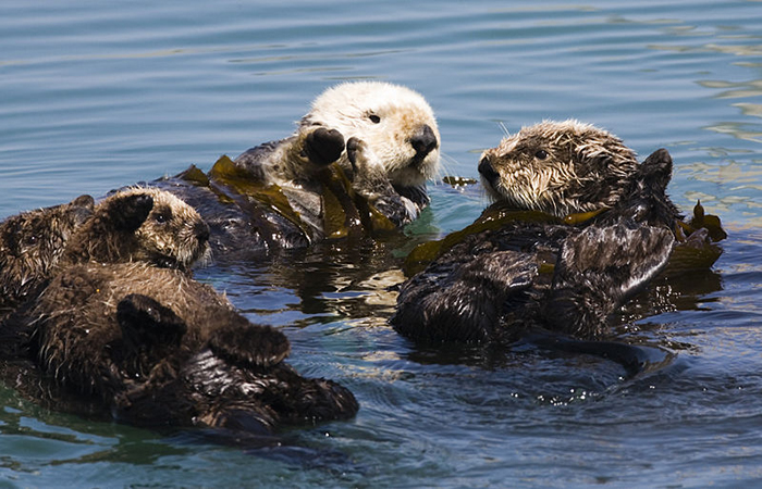 social sea otters
