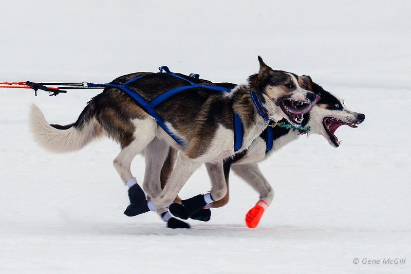 Yukon Quest sled dogs lead