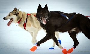 Yukon Quest sled dogs