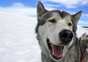 sled dog Iceland