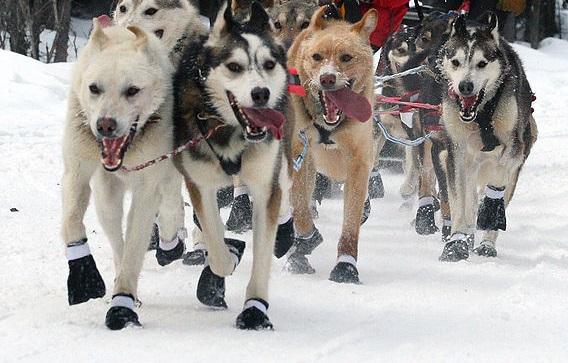 What Do Sled Dogs Eat In Alaska