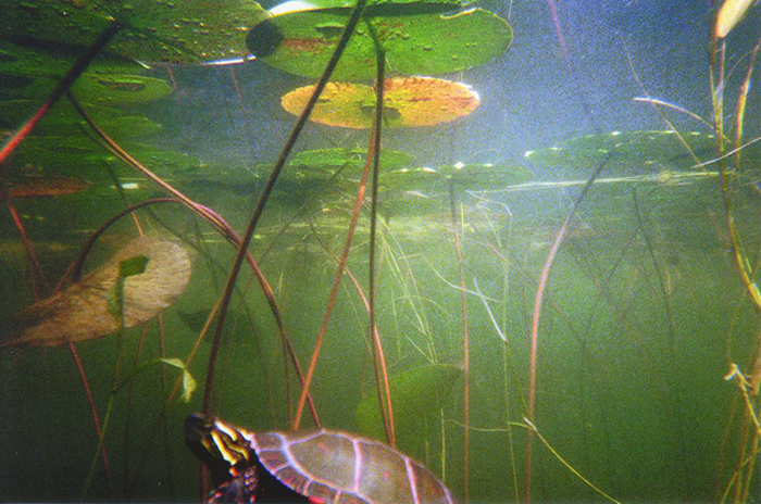 painted box turtle lillypads