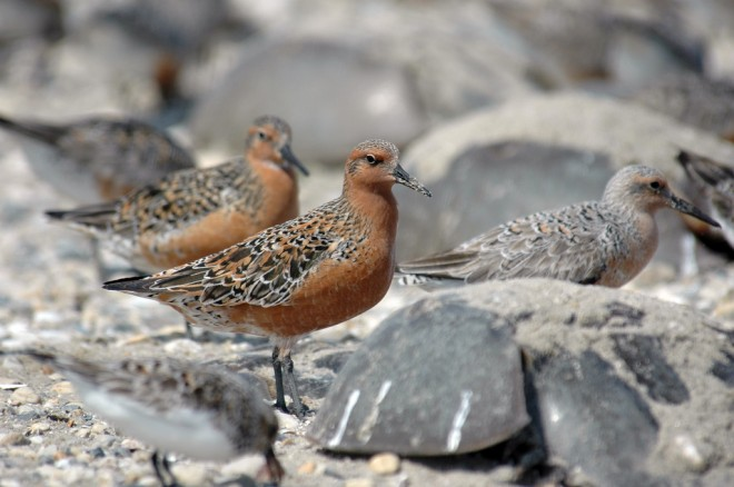 red knot birds