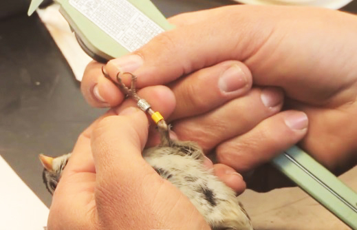 migratory bird banded science