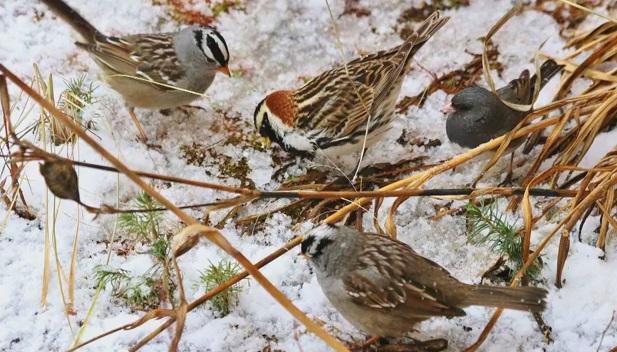 migratory birds seeds snow