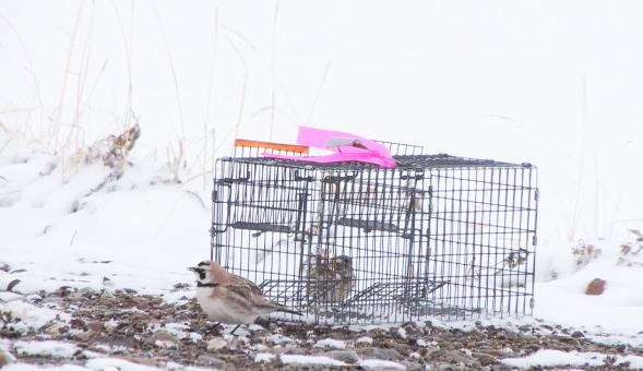 live trap birds