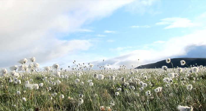 ITEX cottongrass Alaska vegetation