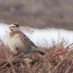 Lapland Longspur nest building