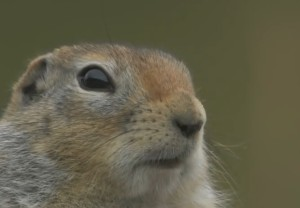 Arctic ground squirrel face eye