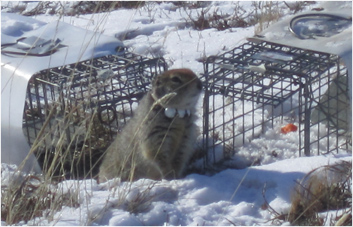 HowtoCatch An Arctic Ground Squirrel