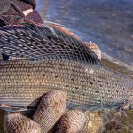 Arctic grayling (Thymallus arcticus) ; this male shows the iridiscent, colored dorsal fin of the species. / Courtesy U.S. Fish and Wildlife Service