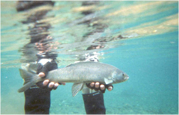Population In The Kuparak Grayling Fish