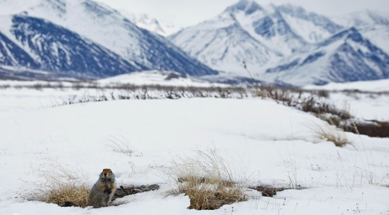 Arctic ground squirrel. / FrontierScientists partners