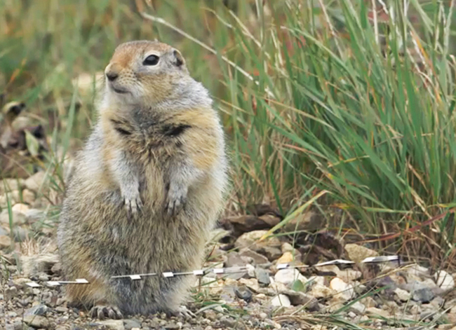 Arctic ground squirrel stands at alert in Denali National Park & Preserve. / FrontierScientists footage