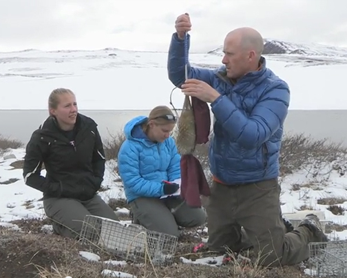 Cory Williams of UAAnchorage weighs an Arctic Ground Squirrel in the field.