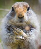Arctic ground squirrel face paws