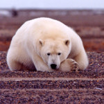 BearsPolar_CurledResting