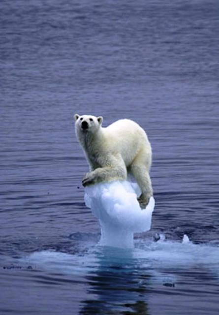 A polar bear rests atop ice / Courtesy NOAA