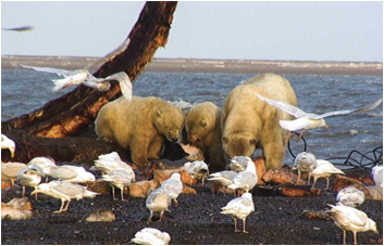 Hair reveals polar bear diet