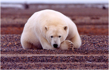 Polar bear preferred sea ice habitat