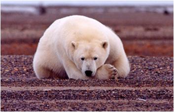 Polar bear preferred sea ice habitat