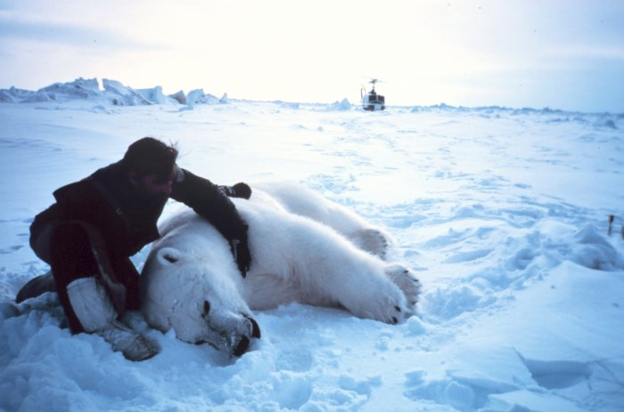 Researcher alongside sedated male polar bear, NOAA archive picture / Courtesy NOAA