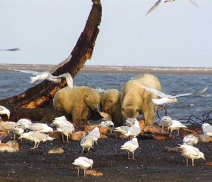 Polar bears and gulls feeding on whale carcass on the Arctic coast of Alaska. A possible transition zone for disease transmission. / Courtesy USGS