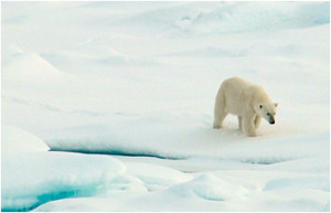 Polar bears respond to sea ice habitat loss