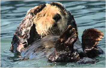 Unmanned Aerial Vehicles help scientists spy sea otters