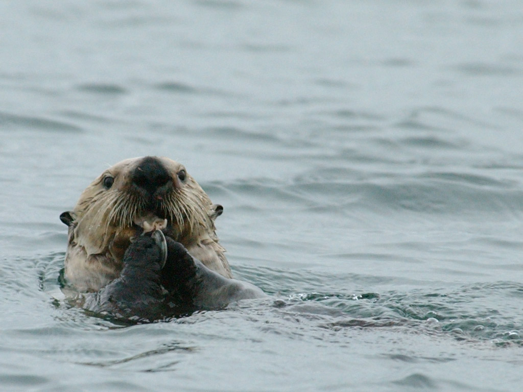 Hovering UAVs spot sea otters ecosystem keystone science / Photo by Randy Davis