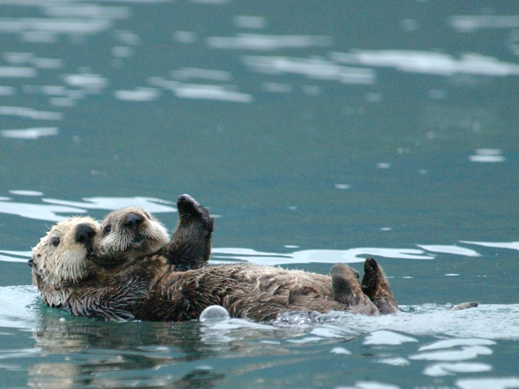 Otters impact their environment in ways that can benefit people / Photo by Randy Davis