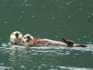 Mother otter with pup / Photo by Randy Davis