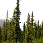 Boreal Forest Growth videos released