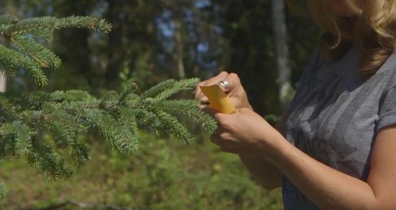 Needle morphology stomata forest Research Experience Undergraduates