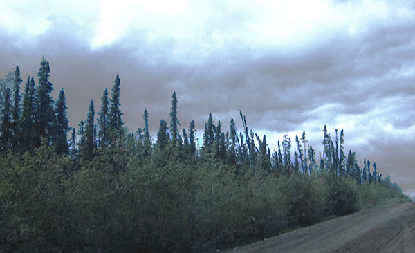 Starving trees treeline stressors boreal forest environment