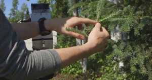Photosynthesis capacity forest needles Research Experience Undergraduates